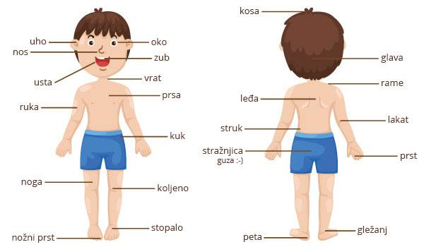 Basic Croatian vocabulary: Parts of the body